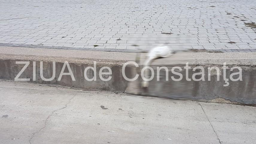 Lebada gasita moarta, astazi, in Portul Tomis (galerie foto+video)