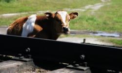 Cum a întârziat trenul Oradea–Mangalia din cauza unei vaci
