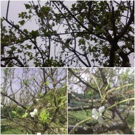 Semn de toamnă lungă. Prunii și merii din Dobrogea au înflorit a doua oară. Imagini superbe cu pomi înfloriți în septembrie (galerie foto)
