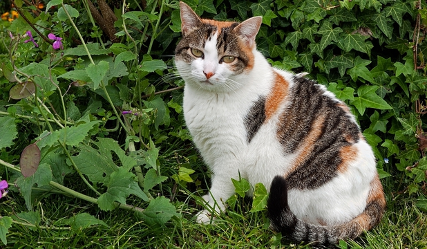 pisici, obezitate, genetica, secret, oameni, balna, cromozomi, calico