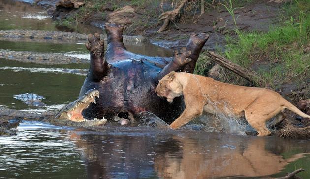 leu, crocodili, lupta, kenya