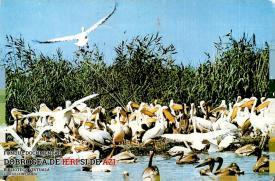 Colonie de pelicani în Delta Dunării