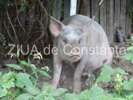 Pesta Porcină Africană confirmată în alte două gospodării! Ce spun reprezentanții ANSVSA