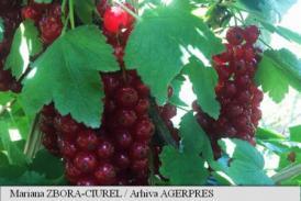 Fructele de cocăz roșu, un stimulent digestiv