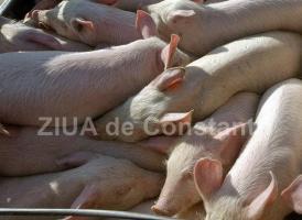 Pesta Porcină Africană confirmată la porcii dintr-o gospodărie din județul Maramureș