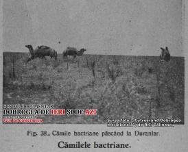 """#DobrogeaDigitală - """"Cutreerând Dobrogea meridională"""", de dr. R.I. Călinescu: Ultimele cămile din Dobrogea"""