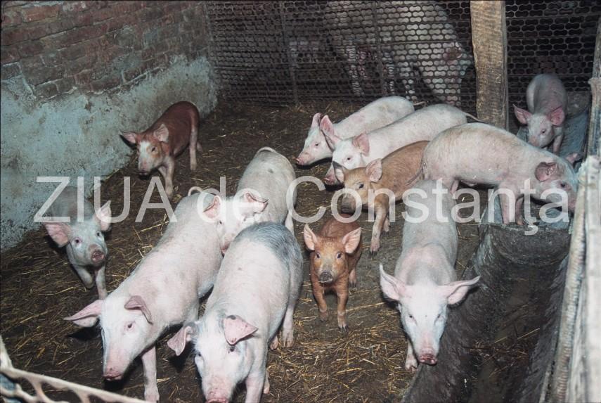 gripa porcina tratament