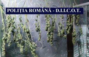 Cultură de cannabis descoperită la Cernavodă. Un tânăr, cercetat pentru trafic de droguri (galerie foto+video)