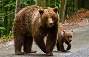 Guvernul României, acționat în instanță, la Constanţa, pentru ursul brun! Se cer daune morale